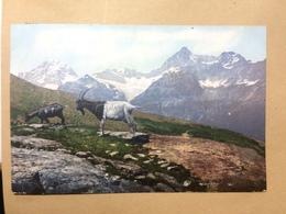 SWITZERLAND - Mountain Goats - 1911 - R.F.B. No.9113 - Animals