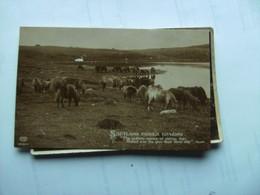 Schotland Scotland Shetland Ponies Grazing Old And Nice - Shetland