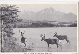MULE DEER CANADIAN ROCKIES     AUTENTICA 100% - Alberta