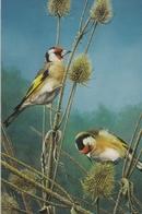 6. BUZIN. CHARDONNERETS ELEGANTS - Oiseaux