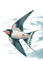 6. BUZIN. HIRONDELLE DE CHEMINEE - Oiseaux