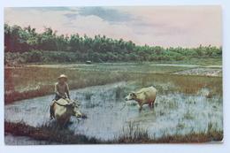 Native Carabao In Rice Fields, Manila, Philippines Philippine Islands - Philippines