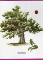 Dessin : CHÊNE PEDONCULE ( Quercus Pedunculata )   27 X 20 Cm - Dibujos
