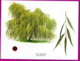 Dessin : SAULE PLEUREUR ( Salix Babylonica )   27 X 20 Cm - Dessins