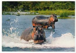 1 Card  Hippopotamus - Hippopotames