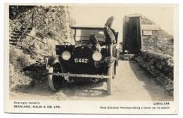 GIBRALTAR-Wild Gibraltar Monkeys Taking A Motor Car By Assault...  Animé  Voiture... - Gibraltar