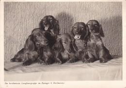 Dackel Teckel Dachshund  Chien   Old Dog Postcard 1957 - Dogs