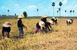 1 AK Thailand * Thai Farmers Harvest Rice On The Rice Fields * - Thaïland