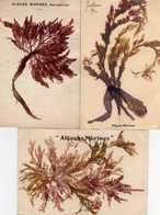 """"""" Algues Marines"""" Naturelles  - Lot De 3 CPA - Quiberon"""