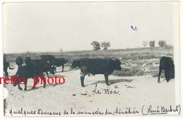Cpa Carte-photo Camargue , Quelques Taureaux De La Manade Du Sénébier , René Barbut, Taureau Le Boa ( Ou Roa ?) - Cartes Postales