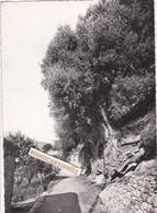 ROQUEBRUNE-VILLAGE - Dépt 06 - Le Roi Des Rois Des Oliviers, L'arbre Le Plus Vieux D'Europe (4.000 Ans) - Arbres