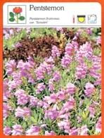 PENTSTEMON Fleurs Des Jardins Fiche Illustree Documentée Fleur - Fiches Illustrées