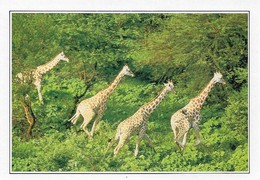 Cameroun Girafes Dans La Réserve De Wasa (2 Scans) - Girafes