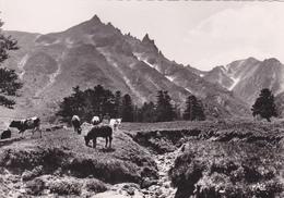LE MONT DORE ,puy De Dome,SANCY,VACHE,CARTE PHOTO REANT - Le Mont Dore