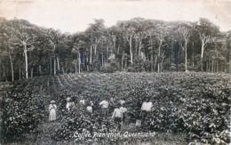 Australie - Queensland - Coffé Plantation - Autres