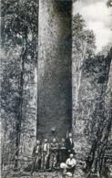 Australie - Queensland - Kauri Pine - Australie