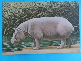 ANIMAUX : HIPPOPOTAME : ONGULES Venant D'AFRIQUE  TROPICALE   C.P.M.,carte En Bon état - Hippopotames