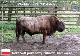 642 Rezerwat Pokazowy Zubrow Bialowieza, PL - Zubron (Bison Bonasus × Bos Primigenius F. Taurus) - Pologne