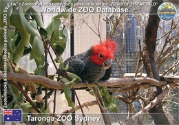 742 Taronga ZOO Sydney, AU - Gang-gang Cockatoo (Callocephalon Fimbriatum) - Sydney