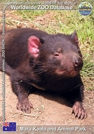 743 Maru Koala And Animal Park, AU - Tasmanian Devil (Sarcophilus Harrisii) - Australia