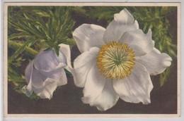 Anemone Alpina - Thor E Gyger - Fiori