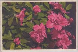 Rhododendron Indicum - Thor E Gyger - Fiori