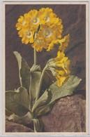Primula Auricula L. - Thor E Gyger - Fiori