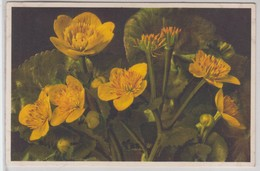 Caltha Palustris - Thor E Gyger - Fiori