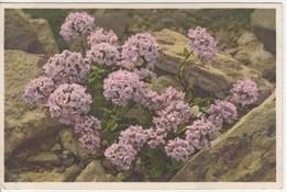 Thlaspi Rotundifolium - Thor E Gyger - Fiori