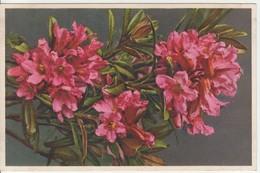 Rhododendron Ferrugineum - Thor E Gyger - Fiori