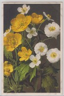 Ranunculus Montanus - Thor E Gyger - Fiori