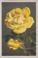 Rosa Hybrida - Thor E Gyger - Fiori