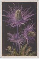Eryngium Alpinum - Thor E Gyger - Fiori