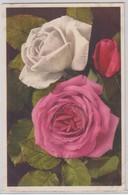 Rosa Indica Hybrida - Thor E Gyger - Fiori