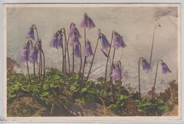 Soldanella Alpina - Stfz N.274 - Fiori