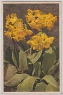 Primula Auricula - Stfz N.291 - Fiori