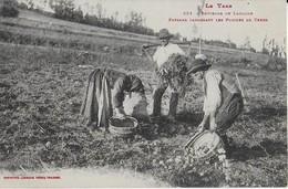 LACAUNE ( Tarn) :  Paysans Ramassant Les Pommes De Terre (Labouche ) - France