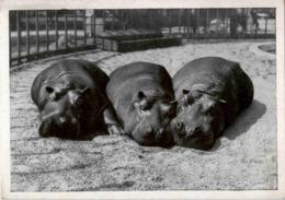Dresdner Zoo - Nilpferde - Hippopotames