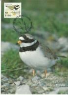 Carte Maximum - Oiseaux - Irlande - Eire -  Ringed Plover - Pluvier Grand-gravelot - Charadrius Hiaticula - Cartes-maximum