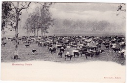 Australia. Mustering Cattle, NSW. Undivided Back - Australia