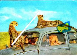 Cheetahs Ar NAIROBI - National Park - E.A Wilde Life - Coccinelle WV Avec Léopards Sur La Voiture - Kenya