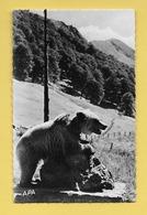 *  CPSM Photo..Dans Les Pyrénées  : Ours Capturé Par Monsieur Haurillon..n°357   : Voir Les 2 Scans - Midi-Pyrénées