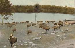 Herd Of Cows By The River Probably New Hampshire Or Vermont - Cows