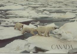 CPM Canada, Ours Polaires, La Marelle De L'arctique - Canada