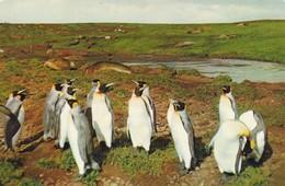 FRANCE. TERRES AUSTRALES ET ANTARCTIQUES. PINGOUINS DU POLE SUD. ANNEE 1959. PUBLICITE AMORA - TAAF : Terres Australes Antarctiques Françaises