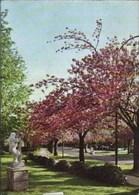 BOITSFORT - Les Cerisiers En Fleurs - Watermael-Boitsfort - Watermaal-Bosvoorde
