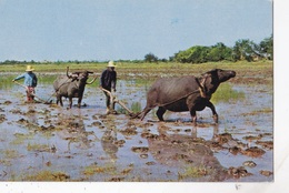 RICE CULTIVATIONN IN THAILAND PLOUHING WITH BUFFALOES   VG  AUTENTICA 100% - Tailandia