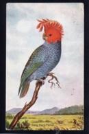 OCEANIE - AUSTRALIE - Gang Gang Parrot - J.M. Cantle - Non Classés