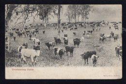 OCEANIE - AUSTRALIE - Overlanding Cattle - Australie