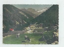 Saint-Martin-Vésubie (06) : MP De Vaches Au Pâturage Dans La Vallée Du Boréon En 1962 GF. - Saint-Martin-Vésubie